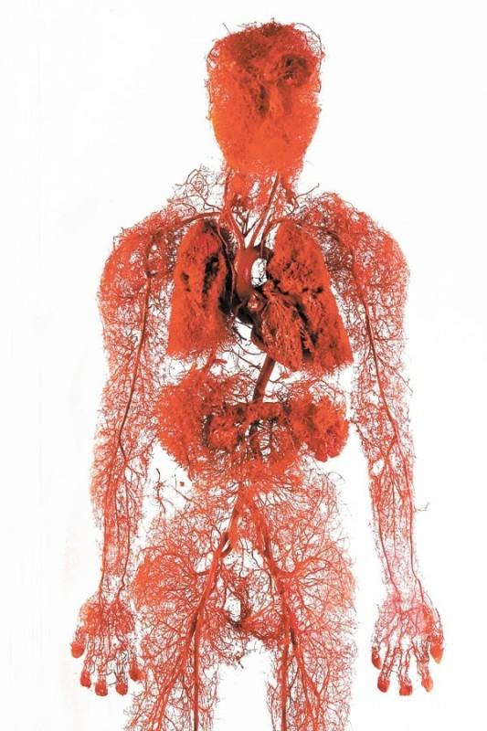 解剖生理学を勉強していますが、全身の血管がいま …