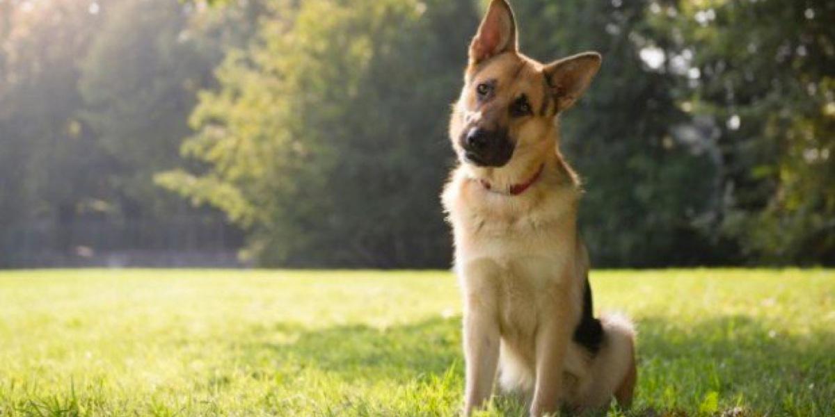 darum legt dein hund den kopf schief wenn du mit ihm sprichst. Black Bedroom Furniture Sets. Home Design Ideas