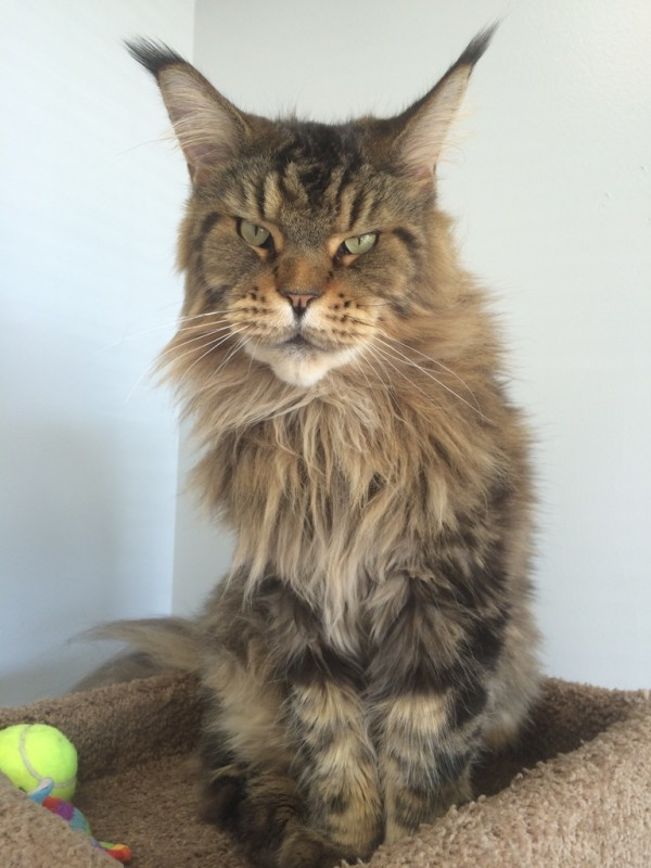 Maine Coon Cats For Sale Massachusetts