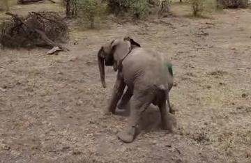 Fund von verletztem Elefanten-Baby erweicht Herzen von Tierschützern.