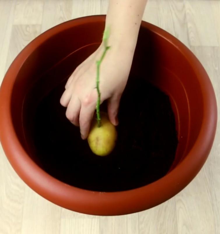 Rose In Kartoffel Anpflanzen : rosenstiel in einer kartoffel gepflanzt ein genialer ~ Lizthompson.info Haus und Dekorationen