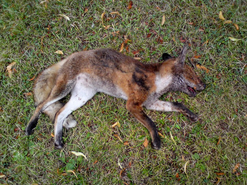Mutige Frau rettet gejagten Fuchs vor grausamem Tod.