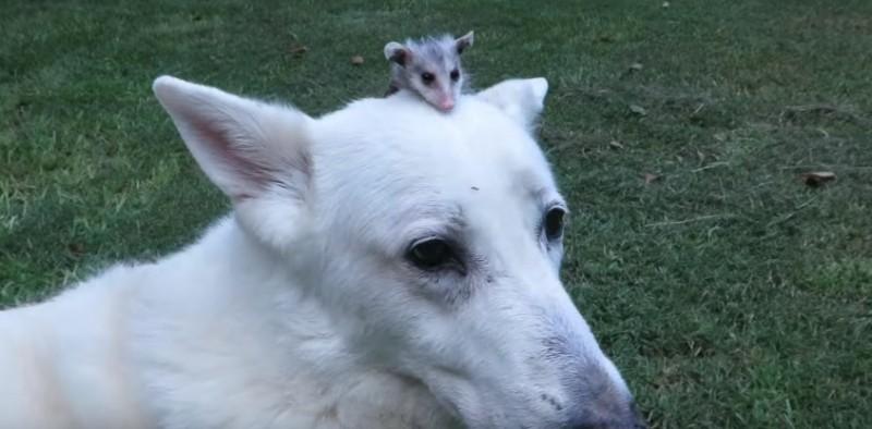 Putziges Paar: Schäferhund wird zur Ersatzmutter für Opossum.