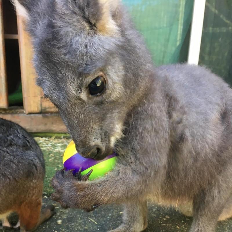 Gerettete Kängurus bringen Pflegerin Vertrauensbeweis.