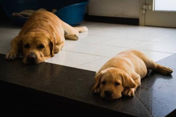 14 Hunde, die genauso aussehen wie ihre Welpen.