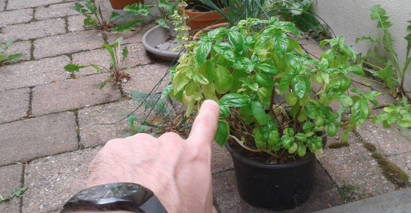 Ob in Küche oder Garten: So lebt dein Basilikum ewig.